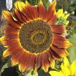 Supramental Artistic Genius (Helianthus- Sunflower)