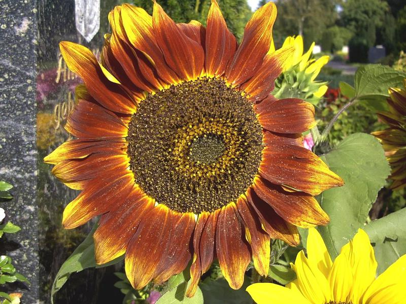 Photographer:http://www.blossomlikeaflower.com   Supramental Artistic Genius (Helianthus- Sunflower)