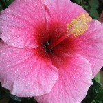 Beauty of the New Creation -Beauty of Auroville-(Hibiscus rosa-sinensis)