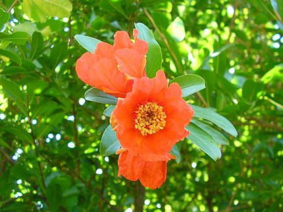 Photographer:www.blossomlikeaflower.com   Divine Sacrifice (Punica granatum-Pomegranate)