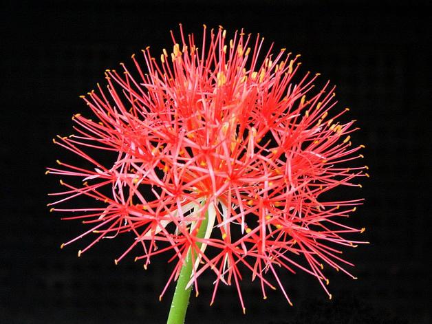 Photographer:forums.gardenweb.com | Supramental Manifestation (Scadoxus multiflorus)