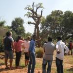 The Frangipani tree