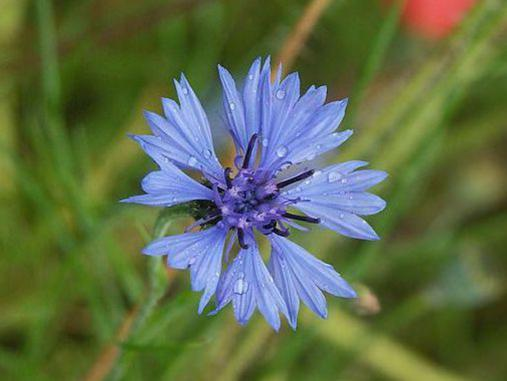 Photographer:http://www.blossomlikeaflower.com | Idealism (Centaurea cyanus-Corn flower)