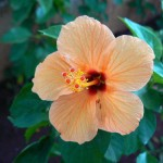 Supramental Beauty in the Physical (Hibiscus rosa-sinensis)