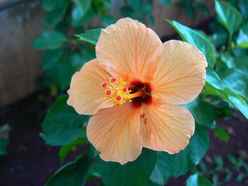 Photographer:www.blossomlikeaflower.com | Supramental Beauty in the Physical (Hibiscus rosa-sinensis)