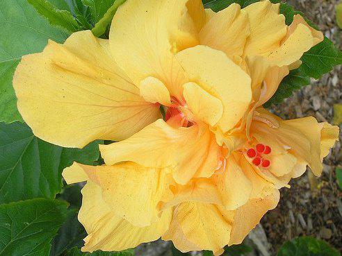 Photographer:www.blossomlikeaflower.com (Hibiscus rosa-sinensis) | Supramental Consciousness