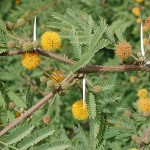 Supramental Knowledge (Acacia farnesiana)