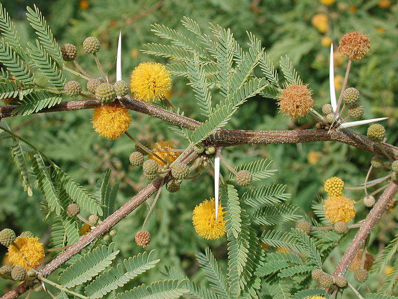 Photographer:www.blossomlikeaflower.com | Supramental Knowledge (Acacia farnesiana)