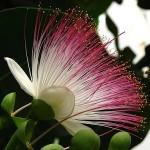 Supramental Action (Barringtonia asiatica)