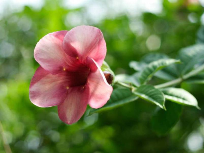 Photographer:AV Botanical Garden | Victory in the vital, In vital even a little victory has great consequences, Allamanda blanchetti.