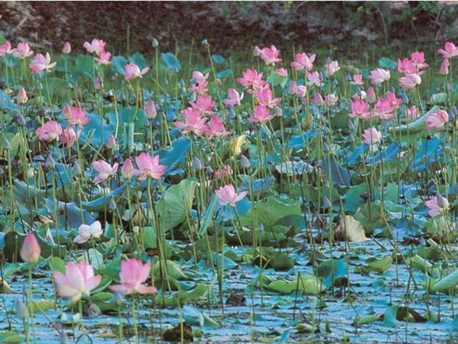 Photographer:Courtesy: flowers.org | Lotus pond