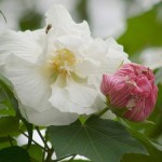 The Divine Grace (Hibiscus mutabilis or Cotton Rose)