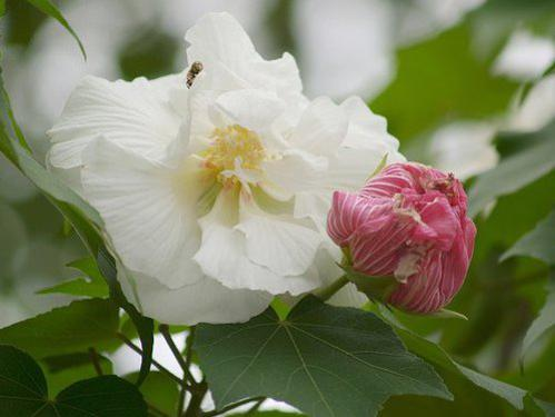 Photographer:www.blossomlikeaflower.com | The Divine Grace (Hibiscus mutabilis or Cotton Rose)