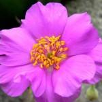 Material Power to Heal (Calandrinia grandiflora)
