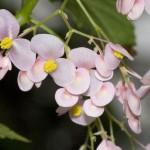 Psychic Balance (Begonia)