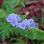 Subconscient Remembrance (Cynoglossum amabile)