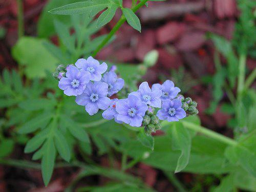 Photographer:www.blossomlikeaflower.com | Subconscient Remembrance (Cynoglossum amabile)