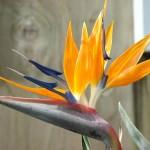 Supramental Bird (Bird of paradise-Strelitzia reginae)