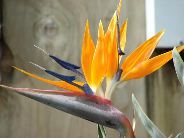 Photographer:www.blossomlikeaflower.com/ | Supramental Bird (Bird of paradise-Strelitzia reginae)