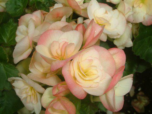 Photographer:www.blossomlikeaflower.com/   Perfect Balance (Begonia)