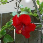 Power of Action (Hibiscus rosa-sinensis)