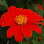 Physical Consciousness Entirely Turned Towards the Divine (Tithonia rotundifolia)