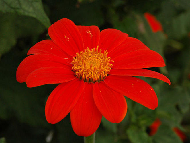 Photographer:www.blossomlikeaflower.com | Physical Consciousness Entirely Turned Towards the Divine (Tithonia rotundifolia)