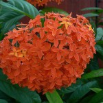Aspiration in Physical for the Supramental Light (Ixora javanica)