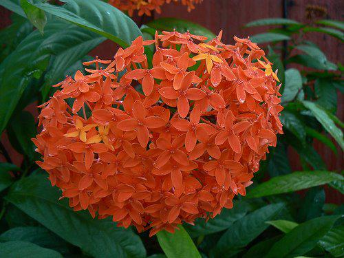 Photographer:www.blossomlikeaflower.com | Aspiration in Physical for the Supramental Light (Ixora javanica)