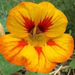 Promise of Realisation in the Physical (Nasturtium, Indian cress)