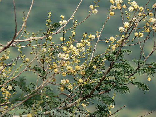 Photographer:www.blossomlikeaflower.com | Knowledge of Details (Acacia leucophloea)