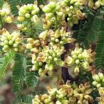 Intuitive Knowledge (Caesalpinia coriaria or Divi-divi)