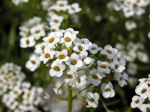 Photographer:www.blossomlikeaflower.com | Goodwill (Lobularia maritima)