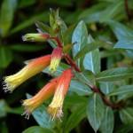 Vegetal Goodwill towards the Supramental Forces (Cuphea micropetala)