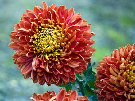 Photographer:www.blossomlikeaflower.com   Life energy in the material (Chrysanthemum Xmorifolium)