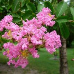 Intimacy with the Divine in the Psychic (Lagerstroemia indica