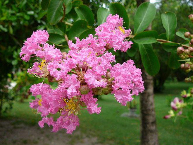 Photographer:www.blossomlikeaflower.com | Intimacy with the Divine in the Psychic (Lagerstroemia indica