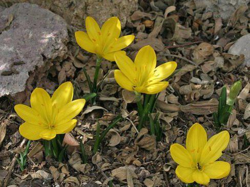 Photographer:www.blossomlikeaflower.com | Supramental Invocation (Sternbergia lutea-
