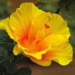 Progress of the New Creation (Progress of Auroville) Hibiscus