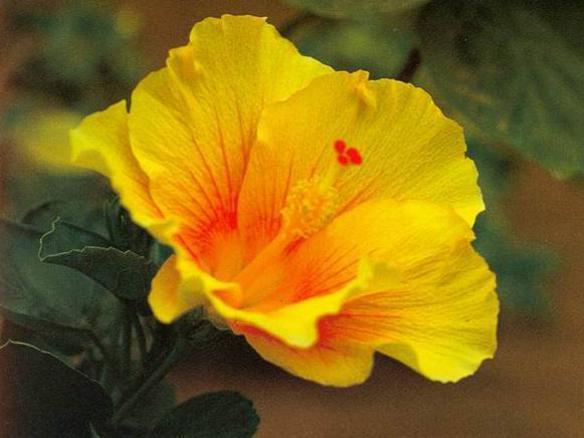 Photographer:www.blossomlikeaflower.com | Progress of the New Creation (Progress of Auroville) Hibiscus