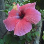 Ideal of the New Creation (Ideal of Auroville) Hibiscus