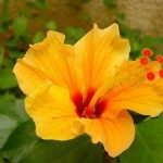 Beauty of Supramental Youth (Hibiscus rosa-sinensis)