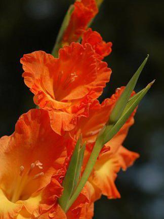 Photographer:http://www.blossomlikeaflower.com   Supramentalised Receptivity (Gladiolus Xhortulanus)
