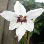 The Vital's Possibility of Perfection (Gladiolus callianthus)