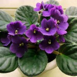 Correct Movements in the Vital (Saintpaulia ionantha or African violet)