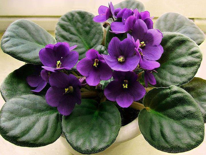 Photographer:www.blossomlikeaflower.com | Correct Movements in the Vital (Saintpaulia ionantha or African violet)