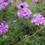 Will to Conquer the Vital Enemies (Verbena tenuisecta)