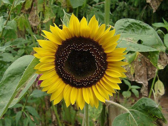 Photographer:www.blossomlikeaflower.com | Body-Consciousness undergoing the Supramental Transformation (Helianthus)