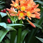 Conversion of the Aim of Life from the Ego (Clivia miniata)