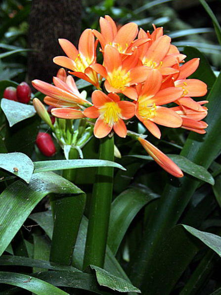 Photographer:www.blossomlikeaflower.com | Conversion of the Aim of Life from the Ego (Clivia miniata)